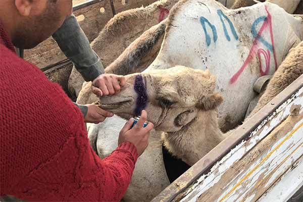 Animals' Angels Helping the Camels at Birqash Market near Cairo