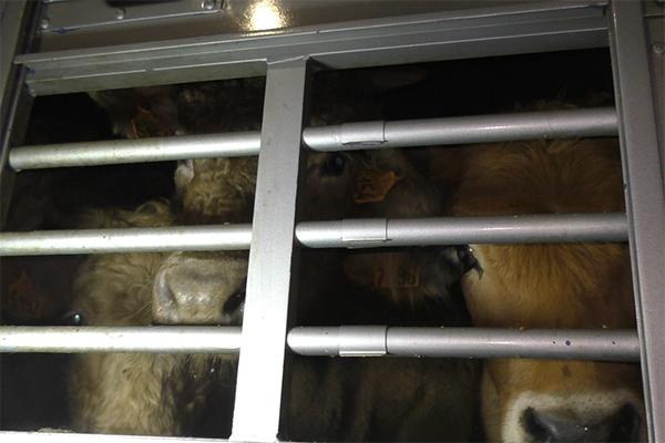 Edouard und seine Artgenossen auf einem Tiertransport von Frankreich nach Italien