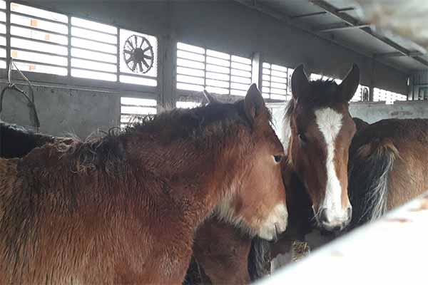 Fohlen auf einem Tiertransport in Spanien