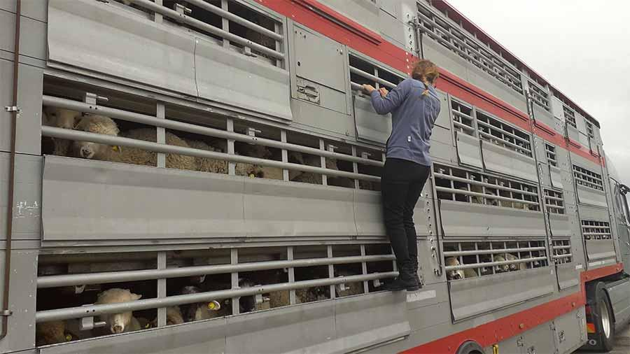 Animals' Angels kontrolliert einen Tiertransport mit Lämmern an Ostern