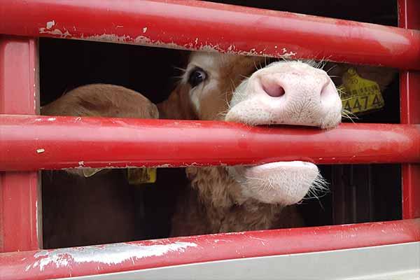 Kundgebung gegen Tiertransporte