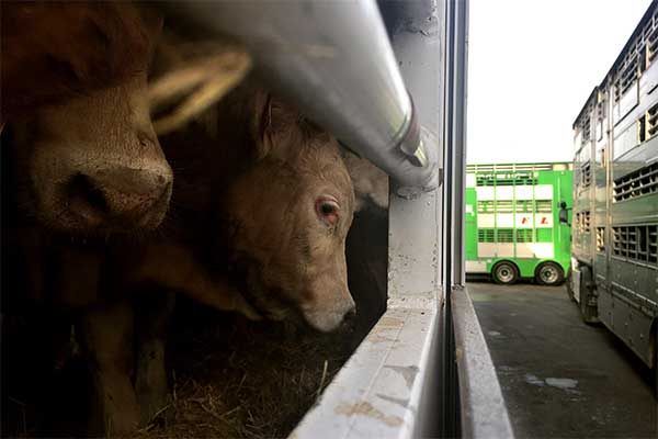 Live Exports to Morocco: Cattle are Stuck at the Port of Algericas, Spain