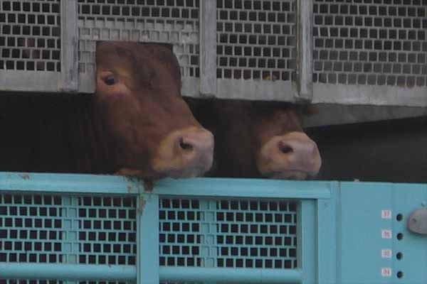Cattle Transport at Slaughterhouse in Italy