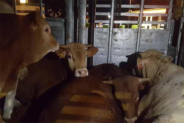 Tiertransporte aus Spanien nach Marokko: Bullenkälber im Inneren