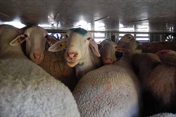 Schafe stehen dicht gedrängt in einem Tiertransport von Spanien nach Italien bei 31 °C
