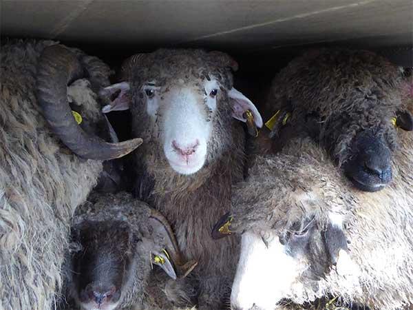 Tiertransport mit Schafen: Die Tiere leiden unter der Enge und zu niedrigen Decken
