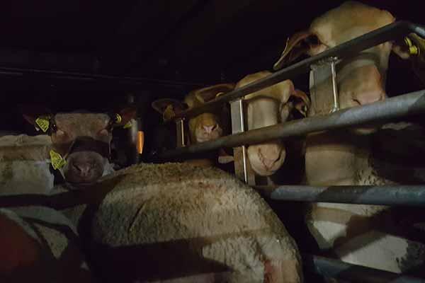 Schafe eng zusammengepfercht auf einem Tiertransport von Frankreich nach Italien
