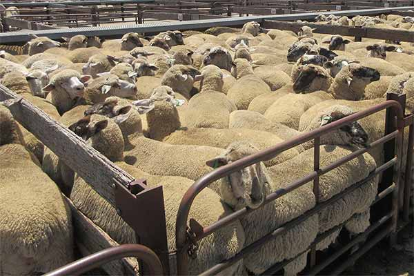 Sheep in Sale Pens at Naracoorte Saleyard, Australia