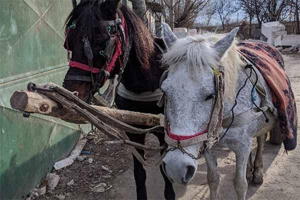 Zwei Pferde auf einem Tiermarkt in Rumänien