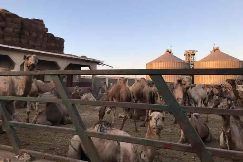 Kamele auf dem Kamelmarkt in Birqash, Ägypten