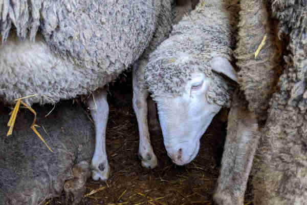 Sheep Standing Crowded Togehter in Animal Transport From Hungary to Turkey