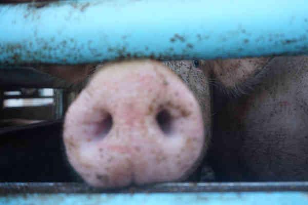 Schwein Bella auf einem Tiertransport von Spanien nach Italien