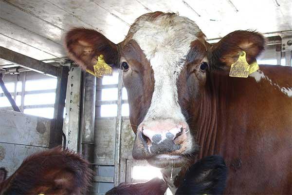 Rind in einem Tiertransport in die Türkei
