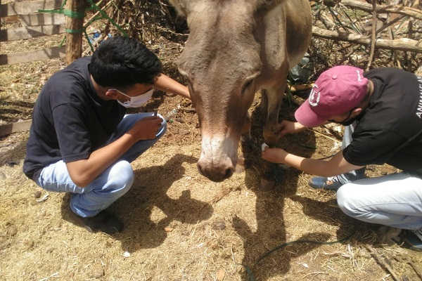 Ayoub and Boubaker are taking care of the wound on the leg of Donkey Michel.