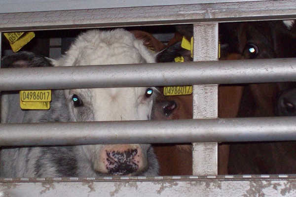 Wir sehen regelmäßig Tiertransporte mit Kälbern auf den Straßen Europas.