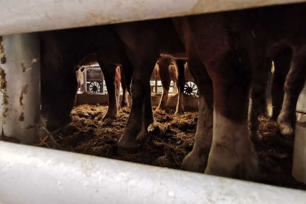 Young horses in the narrowness of the truck. After the two-day transport they eat their own excrement or search for some pieces of dry straw.