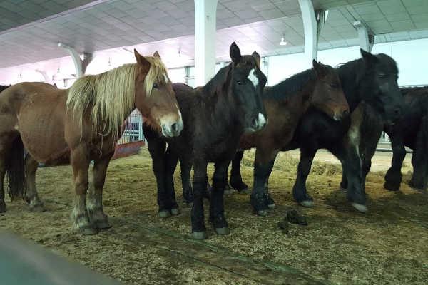 Pferde auf dem Markt in Léon