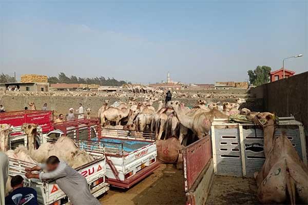 Kamele und Transporte auf dem Markt in Birqash, Ägypten