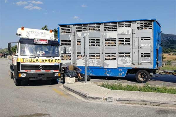 Tiertransport mit Schafen steht mit Reifenpanne in der prallen Sonne bei 35 °C
