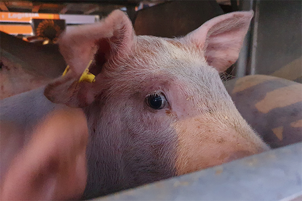 Piglet Being Transported in Heat From Denmark to Romania