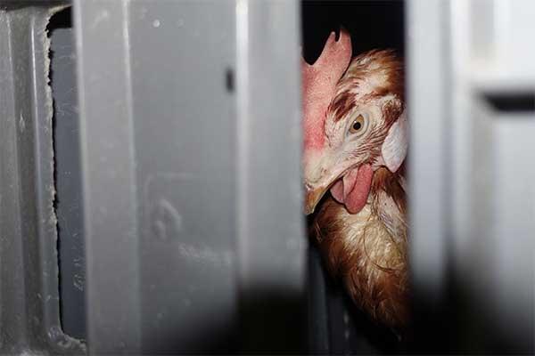 Huhn auf einem Tiertransport von Spanien nach Italien