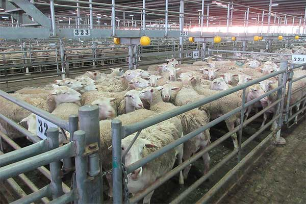 Sheep in Pen at Muchea Saleyard