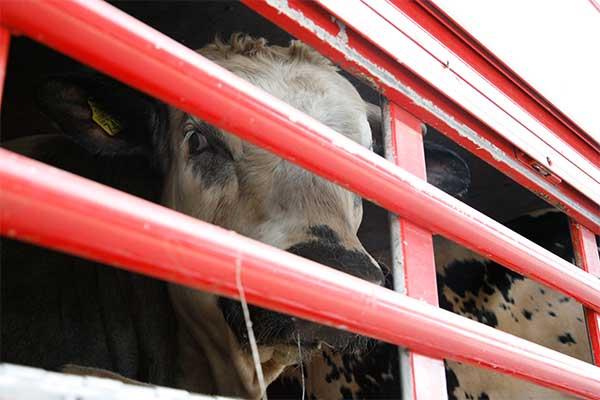 Rinder auf einem Tiertransport aus der EU in die Türkei