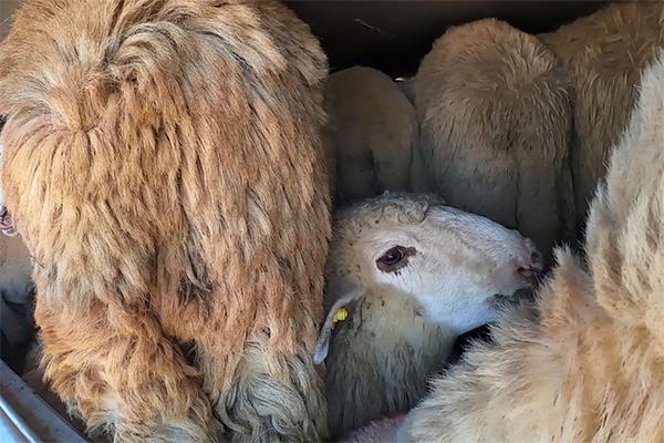 Schafe werden bei Hitze in Griechenland transportiert