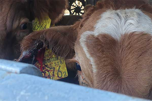 Injured Calf on Transport from Hungary to Turkey