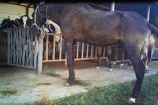 Emaciated and Injured Mare at Animal Market in Bulgaria