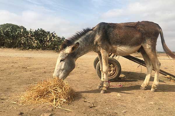 Esel mit Heu auf einem Tiermarkt in Marokko