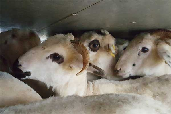 Sheep on Transport From Romania to Italy