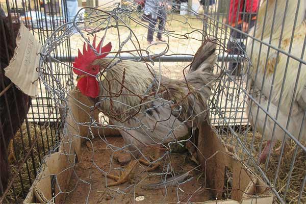 Völlig ungeeigneter und gefährlicher Käfig, Tiermarkt Mundijong, Australien