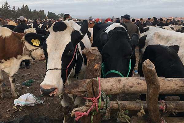 Die deutsche 'Milch'kuh Erika auf einem Tiermarkt in Marokko