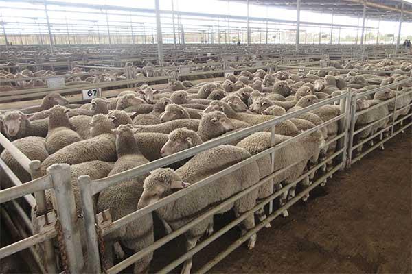 Schafe in engen Pferchen auf dem Saleyard in Katanning