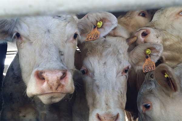Rinder auf Tiertransport von Frankreich in die Türkei