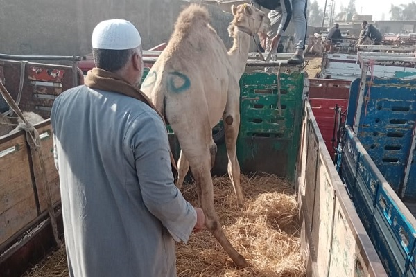A camel stands on the straw-covered loading area of the truck.