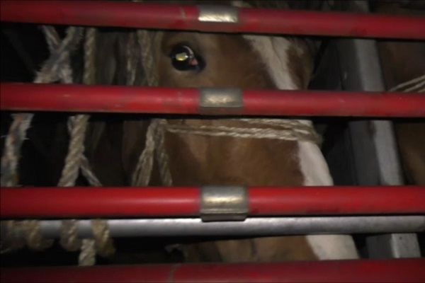 Mare Ante with wide eyes on a horse transport