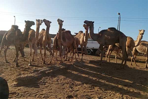 Camels at Birqash Market, Egypt