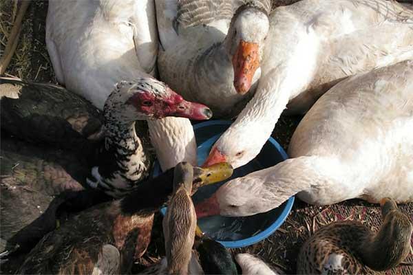 Geflügel auf dem Tiermarkt Mers El Kheir