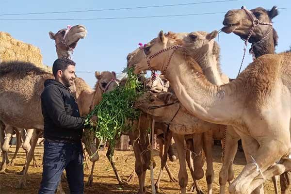 Kamelmarkt Birqash, Ägypten