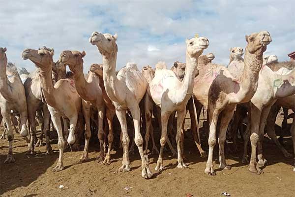 Kamele auf dem Tiermarkt in Birqash, Ägypten