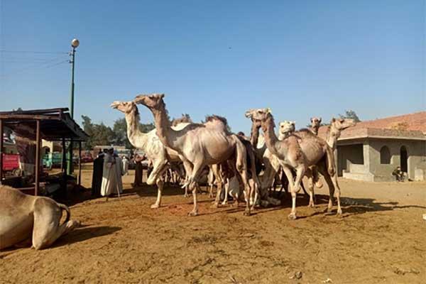 Kamele auf dem Markt in Birqash
