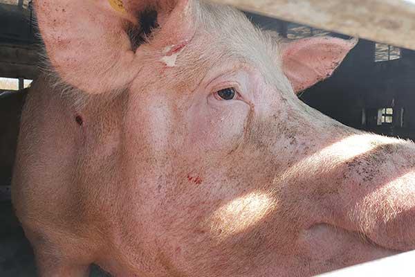 Schwein Martha auf einem Tiertransport in Deutschland