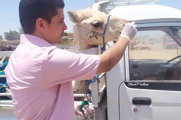 Animals' Angels Helping the Animals at Birqash Camel Market