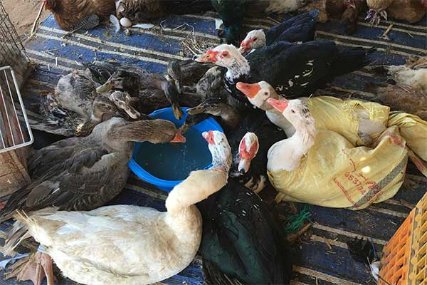 Birds at Mers El Kheir Market, Morocco