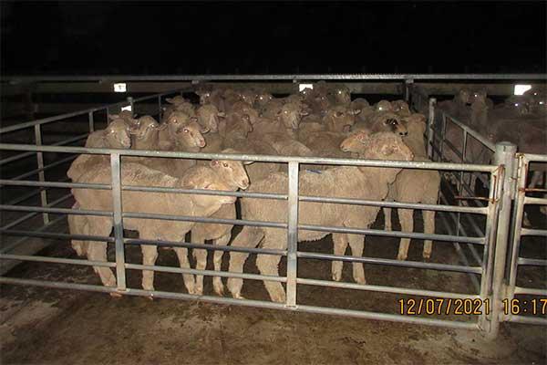 Schafe in Pferch auf einem Saleyard in Australien