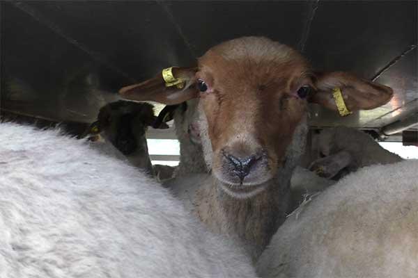 Schafe aus Rumänien auf einem Hitzetransport nach Griechenland