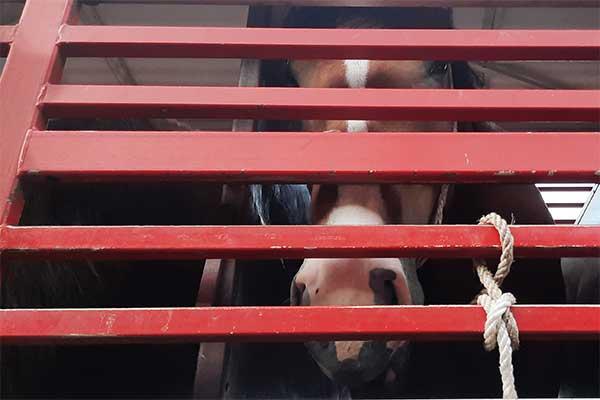 Pferd aus Polen auf Tiertransport nach Italien