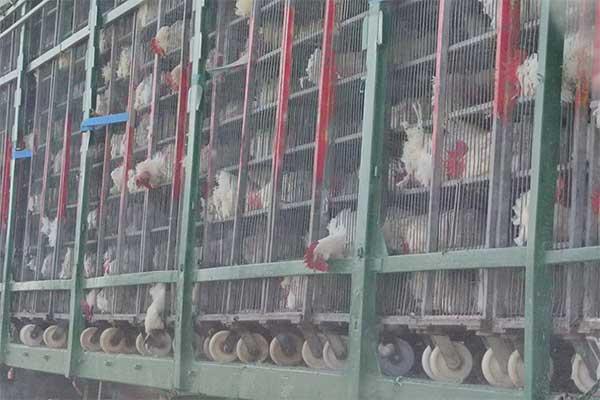 Hühner auf Tiertransport während Hitzewelle in Spanien